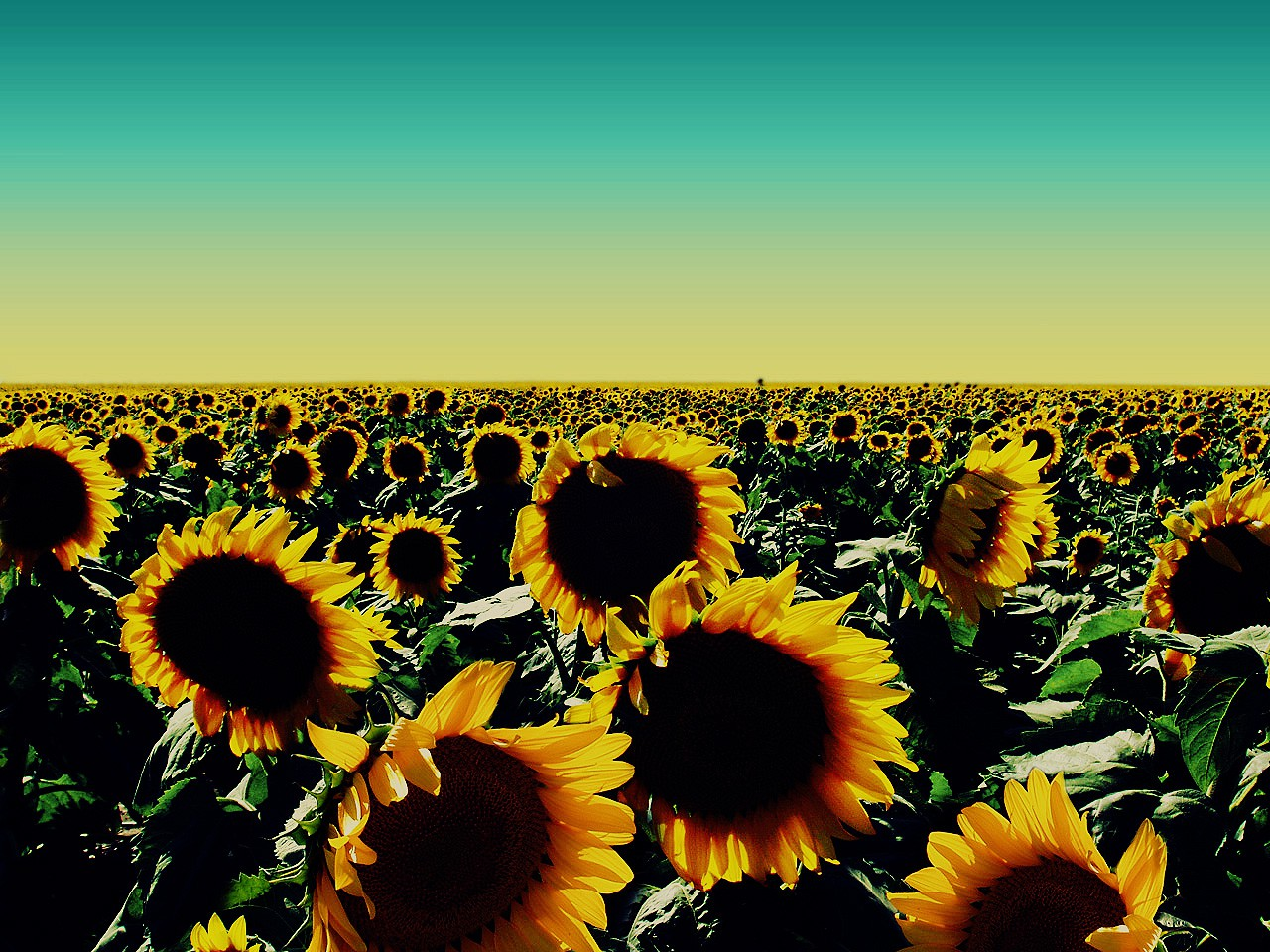 cropped-sunflowers-drawing-tumblr-wallpaper-all-hd-images-be-wallpaper.jpg